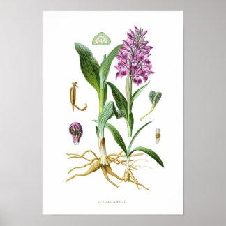Latifolia de Orchis Póster
