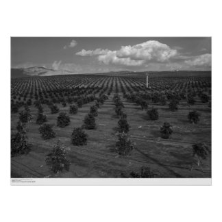 Latter Day Saints Citrus Orchard near Riverside Poster