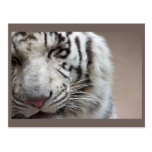 Laugh Of The White Tiger Postcard