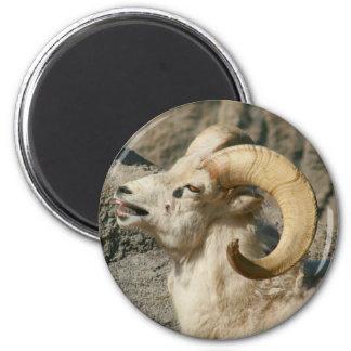Laughing Bighorn Sheep Fridge Magnet