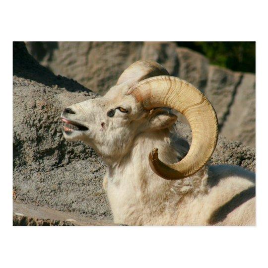 Laughing Bighorn Sheep Postcard