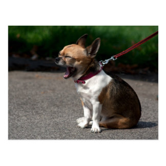 Laughing Chihuahua Postcard