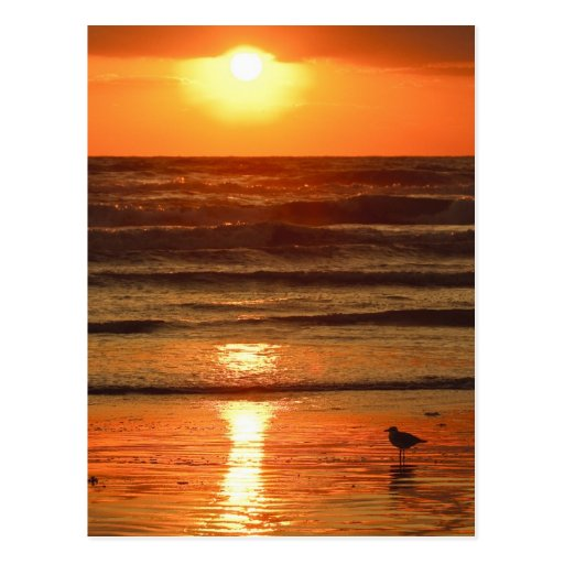 Laughing Gull Larus atricilla) silhouetted Postcard