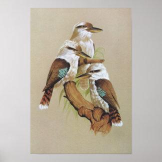 Laughing Kookaburra - Dacelo gigas Poster