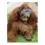 Laughing Orangutan Postcards