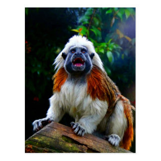 Laught out loud happy and joy cotton top tamarin postcard