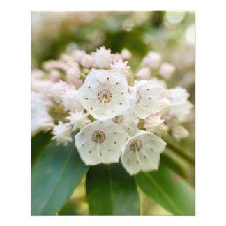 Laurel de montaña en la floración fotografía
