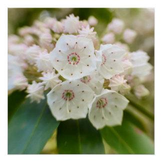 Laurel de montaña en la floración perfect poster