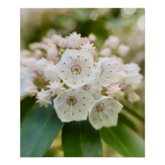 Laurel de montaña en la floración póster