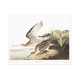 Lavandera de Bartram de la placa 303 de Audubon Impresion En Lona