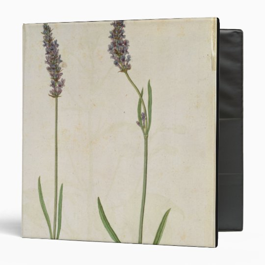 Lavandula officinalis (Old English Lavender), c.15 Binder