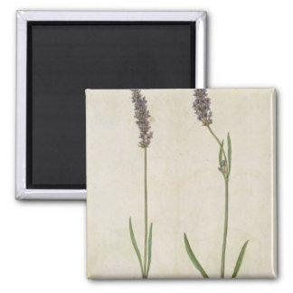 Lavandula officinalis (Old English Lavender), c.15 2 Inch Square Magnet