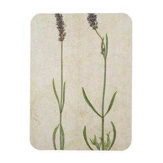 Lavandula officinalis (Old English Lavender), c.15 Rectangular Photo Magnet