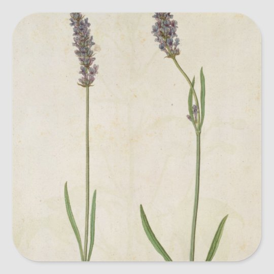 Lavandula officinalis (Old English Lavender), c.15 Square Sticker