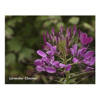 Lavendar Cleome, Lavender Cleome Postcard