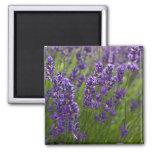 Lavendar el | Lavendel Imán Cuadrado
