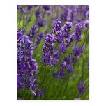 Lavendar el | Lavendel Postales