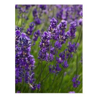 Lavendar el | Lavendel Postal