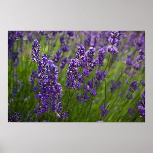 Lavendar | Lavendel Poster