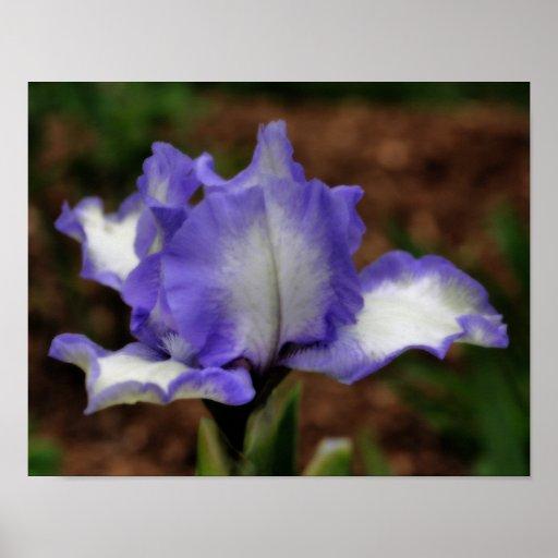 Lavender Bearded Iris Flower Poster