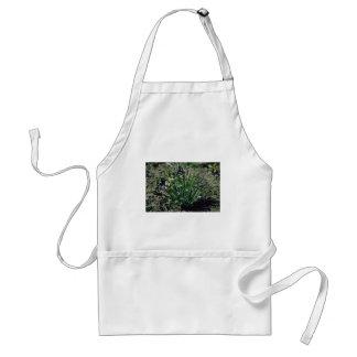 Lavender Blue-Eyed Grass Sisyrinchium Angustifoli Aprons