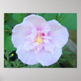 Lavender Chiffon Hibiscus Poster