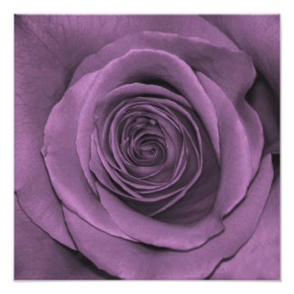 Lavender Colored Rose Photo Print