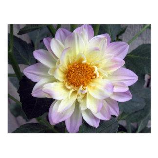 Lavender Creme Dahlia Postcard