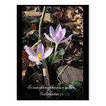 Lavender Crocus Postcards