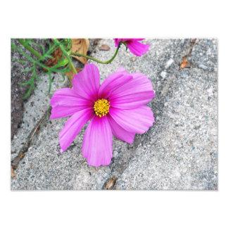 Lavender Dahlia Photographic Print