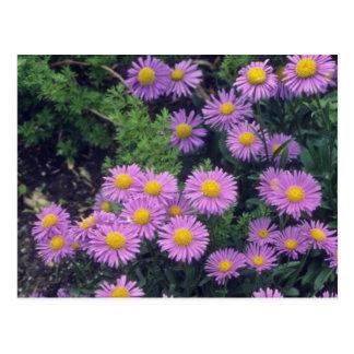 Lavender Dunkle Schone Aster, (Aster Alpinus) flow Postcard