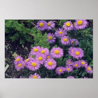 Lavender Dunkle Schone Aster, (Aster Alpinus) flow Print