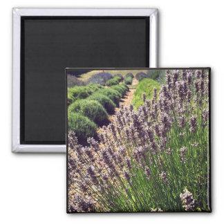 Lavender Farm Magnet