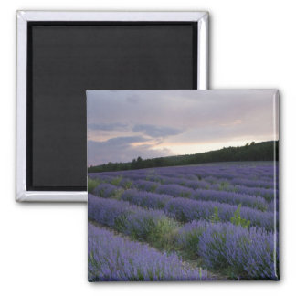 Lavender field at sunset 2 inch square magnet
