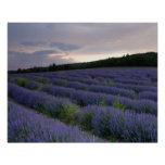 Lavender field at sunset posters