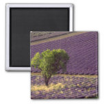 Lavender field in High Provence, France 2 Inch Square Magnet
