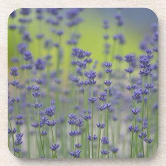 Lavender Field of Flowers Beverage Coaster