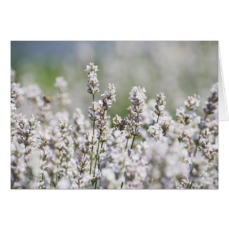 Lavender Fields Blank Greeting Card