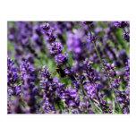 Lavender Fields Postcard