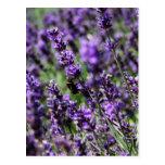 Lavender Fields Postcard at Zazzle