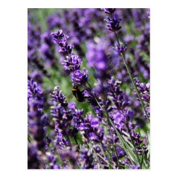 Lavender Fields Postcard by PerennialGardens at Zazzle