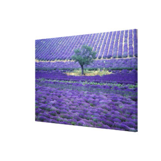 Lavender fields, Vence, Provence, France Gallery Wrapped Canvas