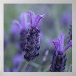 Lavender Flower Photo Poster Print