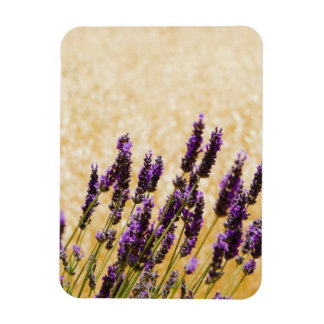 Lavender flowers in a field, Siena Province, Magnet