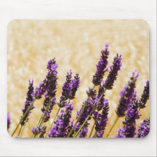 Lavender flowers in a field, Siena Province, Mouse Pad