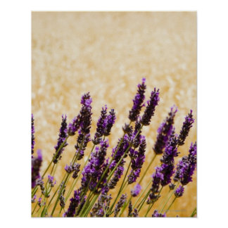 Lavender flowers in a field, Siena Province, Poster