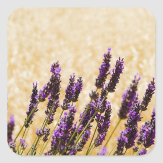 Lavender flowers in a field, Siena Province, Square Sticker