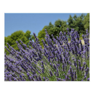 Lavender flowers in field at summer, Provence Poster