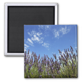 Lavender flowers in field on blue sky in summer, 2 inch square magnet