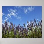 Lavender flowers in field on blue sky in summer, poster
